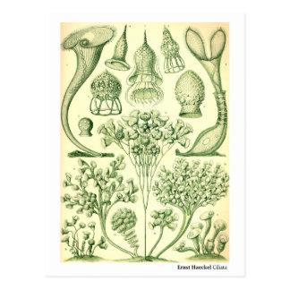 Ernst Haeckel Ciliata Postcard
