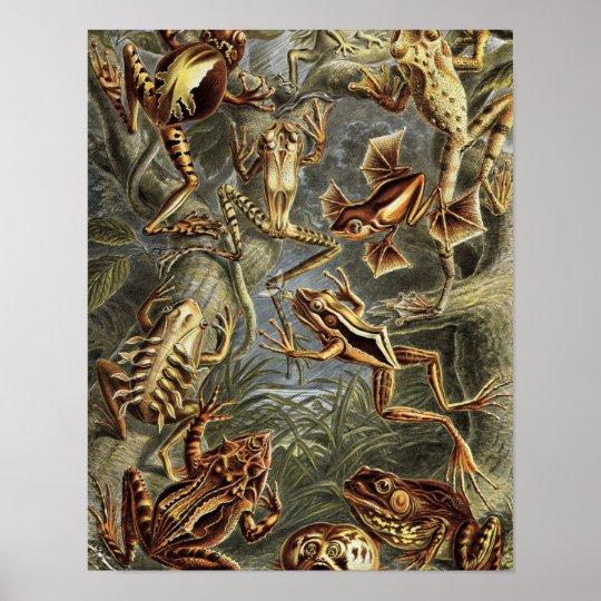 ernst haeckel Frogs Poster
