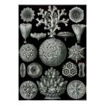 Ernst Haeckel Hexacorallia Coral Poster