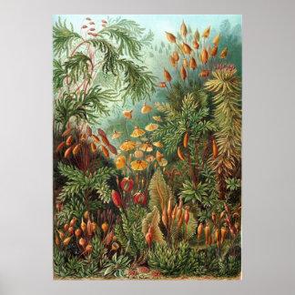 Ernst Haeckel Muscinae Poster