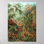 Ernst Haeckel - Muscinae Poster