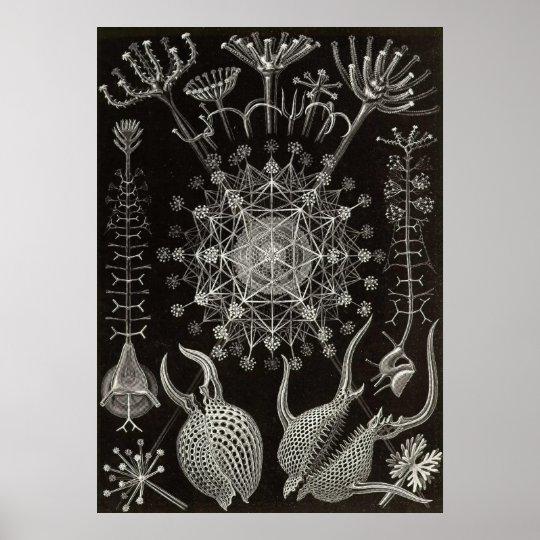 Ernst Haeckel - Phaeodaria2 Poster