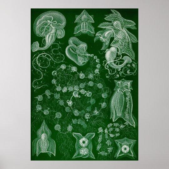 Ernst Haeckel - Siphonphorae6 Poster