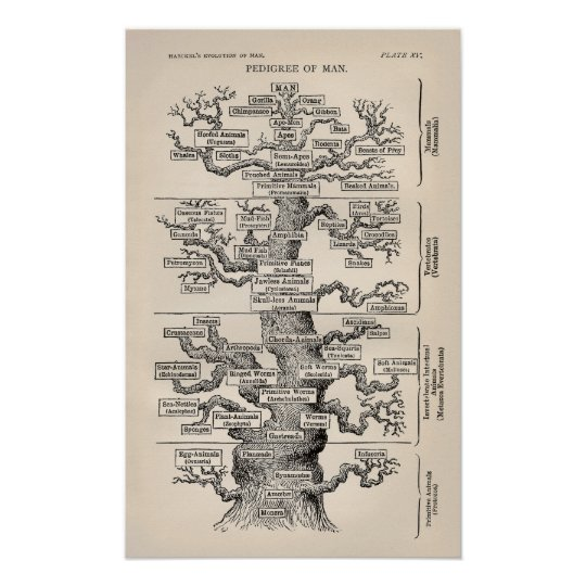 Ernst Haeckel Tree of Life Pedigree of Man