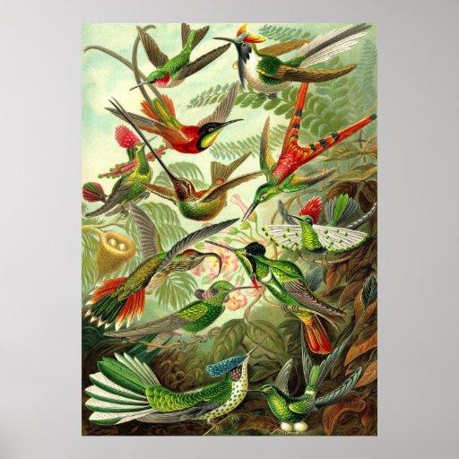 Ernst Haeckel - Trochilidae Hummingbirds Posters