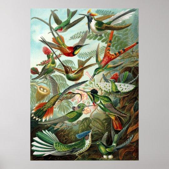 Ernst Haeckel Trochilidae Poster
