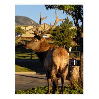 Estes Park Elk Postcard
