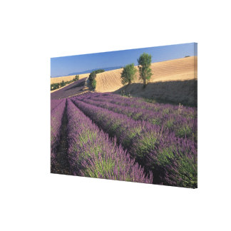 EU, France, Provence, Lavender fields 3 Gallery Wrapped Canvas