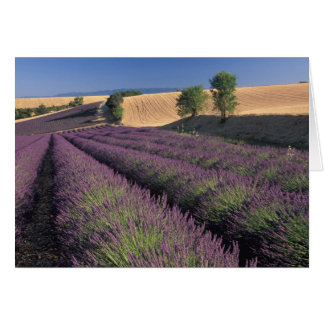 EU, France, Provence, Lavender fields 3 Card