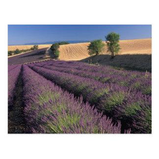 EU, France, Provence, Lavender fields 3 Postcard