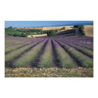 EU, France, Provence, Lavender fields Photo Print