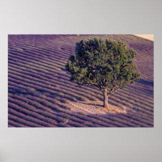 EU, France, Provence, Lavender fields Poster