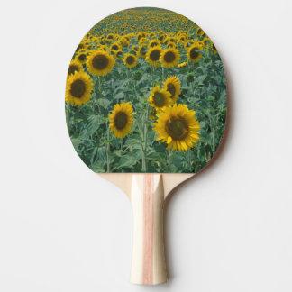 EU, France, Provence, Sunflower field