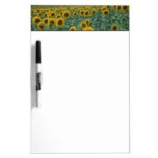 EU, France, Provence, Sunflower field Dry Erase White Board