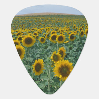 EU, France, Provence, Sunflower field Guitar Pick