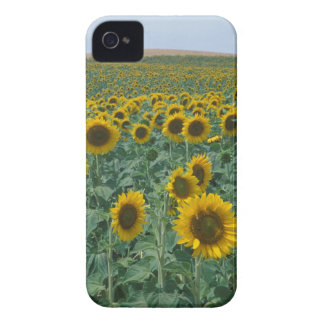 EU, France, Provence, Sunflower field iPhone 4 Covers