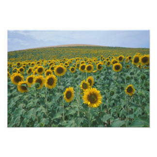 EU, France, Provence, Sunflower field Photo Print
