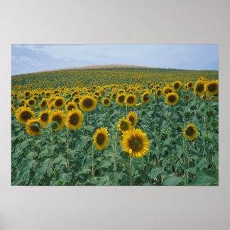 EU, France, Provence, Sunflower field Poster