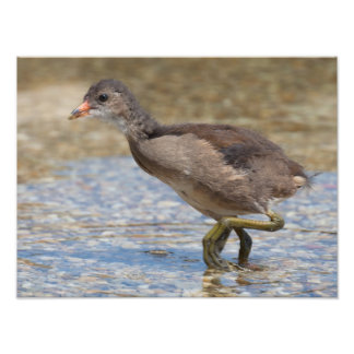Eurasian Coot Young Chick Photo