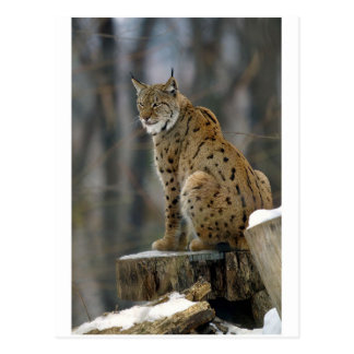 Eurasian Lynx (Lynx lynx) 3 Postcards