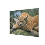 Europ�_ischer Luchs, Eurasischer Luchs (Lynx Stretched Canvas Print