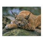 Europ�_ischer Luchs, Eurasischer Luchs (Lynx Post Cards