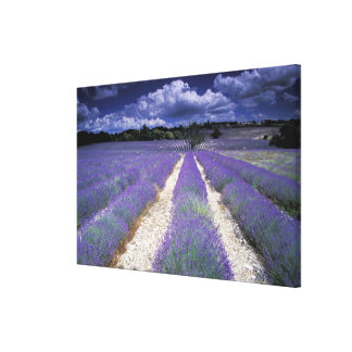 Europe, France, Provence. Lavander fields Canvas Print
