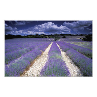 Europe, France, Provence. Lavander fields Photo Print