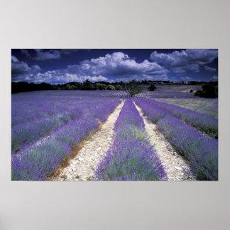Europe, France, Provence. Lavander fields Poster