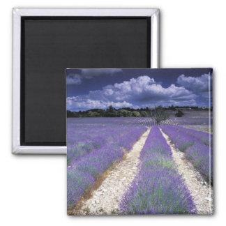 Europe, France, Provence. Lavander fields Square Magnet