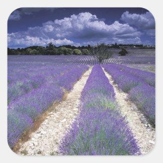 Europe, France, Provence. Lavander fields Square Sticker