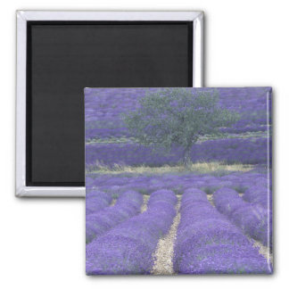 Europe, France, Provence, Sault, Lavender fields 2 Magnet
