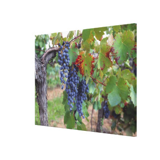Europe, France, Roussillon. Vineyards, with Canvas Print