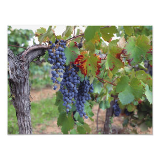 Europe, France, Roussillon. Vineyards, with Photo