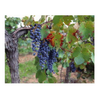 Europe, France, Roussillon. Vineyards, with Postcard