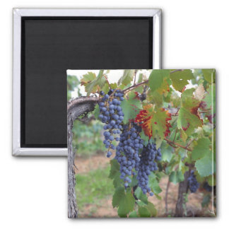Europe, France, Roussillon. Vineyards, with Square Magnet