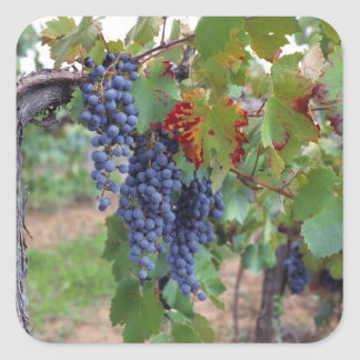 Europe, France, Roussillon. Vineyards, with Square Sticker