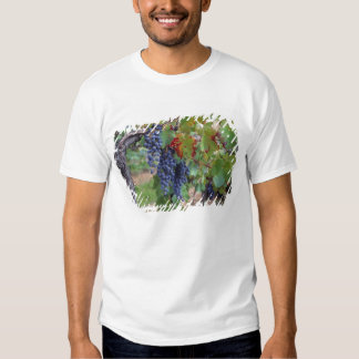 Europe, France, Roussillon. Vineyards, with T Shirts