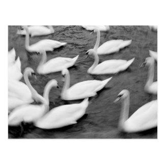 Europe, Lucerne, Switzerland. Swans on the Reuss Postcard