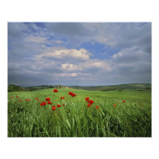 Europe, Tuscany, Poggiolo. Red poppies sway Poster