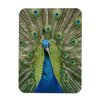 Europe, Wales, Cardiff. Cardiff Castle, peacock Rectangular Photo Magnet