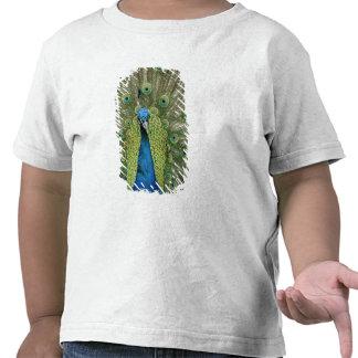 Europe, Wales, Cardiff. Cardiff Castle, peacock Tee Shirt