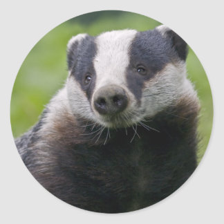 European Badger Sticker