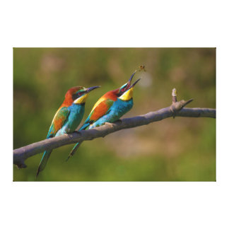 European Bee Eater Birds in Ariège France Stretched Canvas Prints