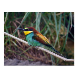 European Bee-eater Postcard