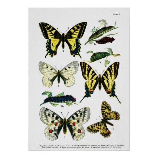 European Butterflies (Plate 01) Poster