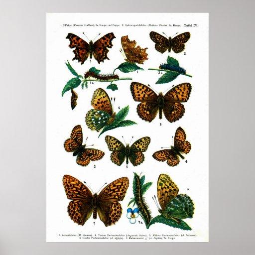 European Butterflies (Plate 04) Poster