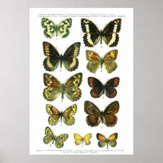 European Butterflies (Plate 05) Print