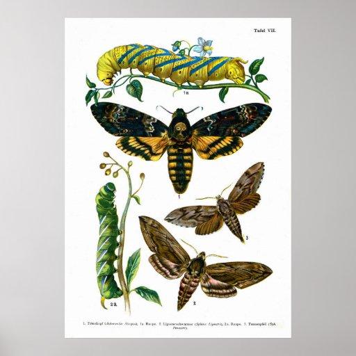 European Butterflies (Plate 07) Poster