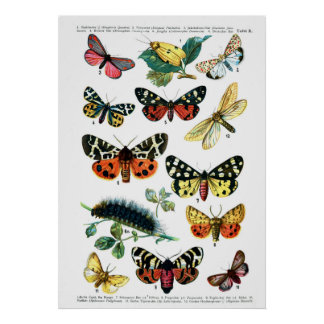 European Butterflies (Plate 10) Poster